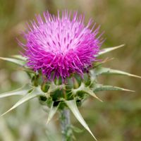 THISTLE (Carlina marianum)