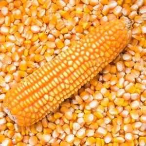 Maize. (Zea mays)