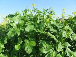 Fodder Rape (Brassica napus)