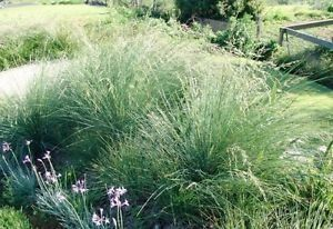 Tussock Grass (Poa)