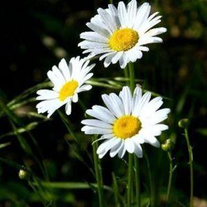 DAISY (Asteraceae)