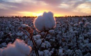 Cotton (gossypium hirsutum)