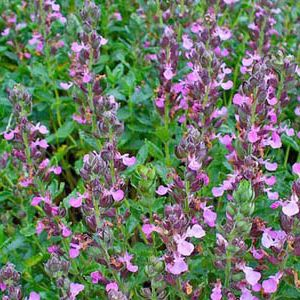 The Wall Germander (Teucrium chamaedrys)