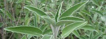 SAGE  (Salvia pratensis)