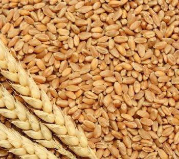 Wheat(Triticum)