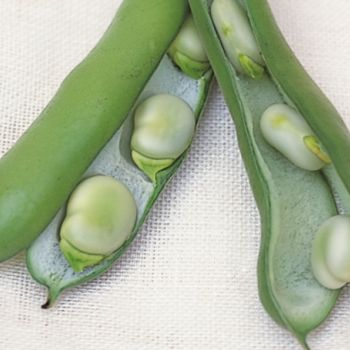 Broad beans (Vicia faba)