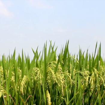 Rice (Oryza sativa)