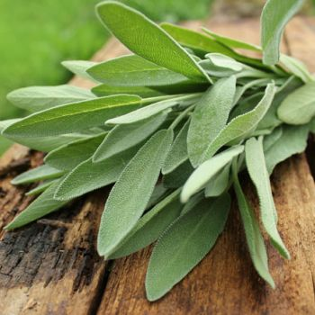 SAGE(Salvia pratensis)