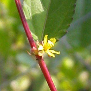 Jute (Corchorus capsularis)