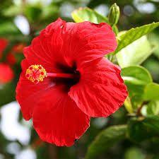 Hibiscus (Malva sylvestris)
