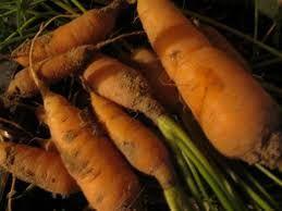 Wild Carrot (Daucus carota ssp. sativa)