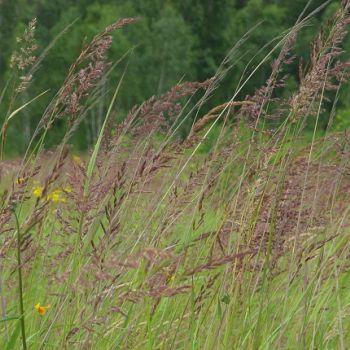 Agrostis Gigantea