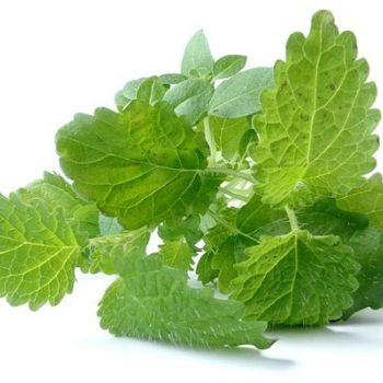 LEMON BALM (Melissa officinalİs)