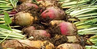 Fodder Turnip