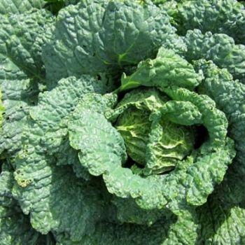 Fodder Cabbage