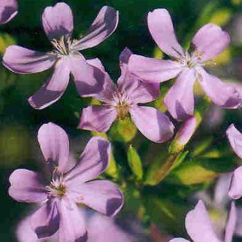 Soapworts (Gypsophila)