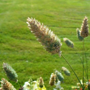 Canary grass (Phalaris canariensis)